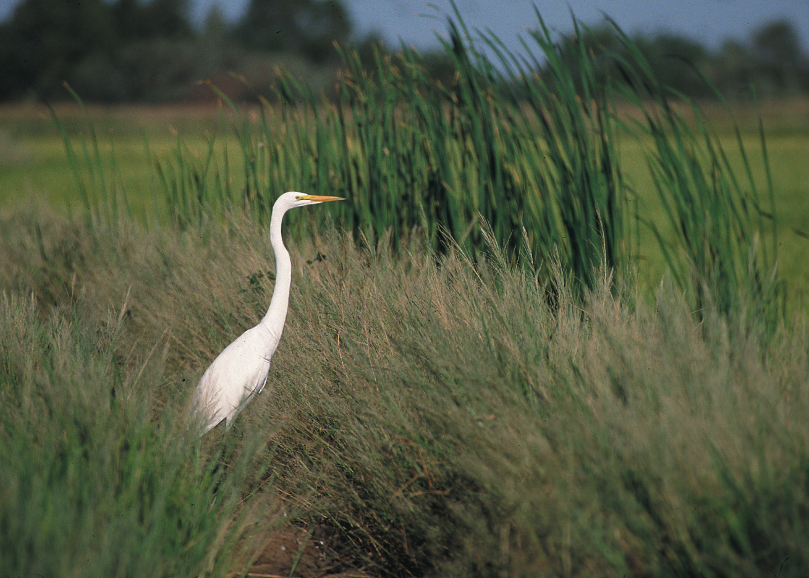 Egret in Grass Buffer– one of the conservation practices highlighted by the new report. Photo credit: Gary Kramer NRCS, USDA