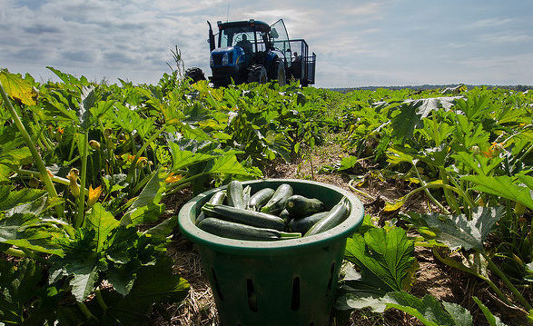 Just-picked green zucchini squash waits to be loaded onto a processing trailer. Photo credit: USDA, Lance Cheung.